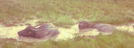 Two Water Buffalos